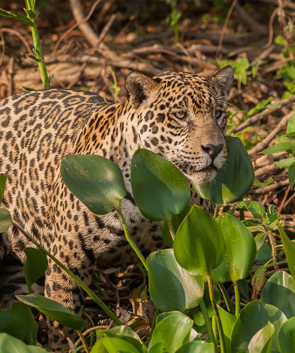 Pantanal Brazil Bluefeet Expeditions
